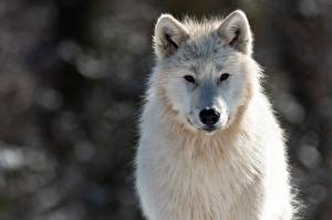 Обои Волк Белые Морды Смотрят Canis lupus tundrarum животное