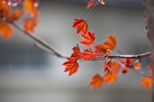 Обои Осень Ветки Лист Боке Клён Природа