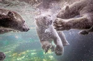 Картинки Медведи Северный Подводный мир Лап животное