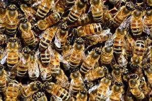 Картинка Пчелы Насекомые Много Текстура животное