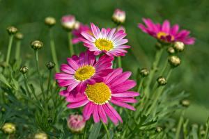 Фотографии Маргаритка Вблизи Боке Бутон Розовые цветок