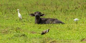 Фотография Птицы Коровы Трава Лежит животное