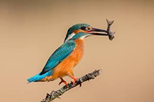 Картинки Птицы Рыбы Обыкновенный зимородок Охота
