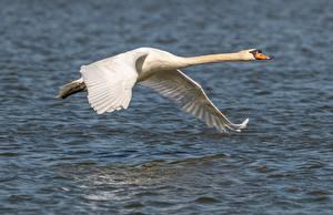 Картинка Птица Лебеди Летит Белый