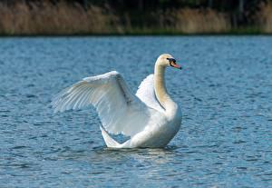 Картинки Птица Лебедь Вода Белая Животные