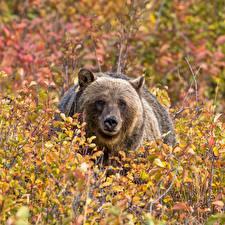 Картинка Медведи Бурые Медведи Кусты