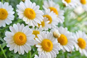 Фотографии Ромашки Крупным планом Цветы