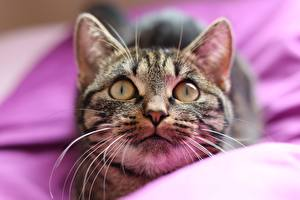Картинка Кошка Смотрят Морды Усы Вибриссы