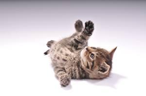 Картинки Коты Сером фоне Котята Лежа животное