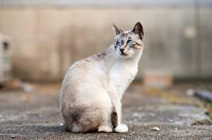 Обои Коты Сидящие Смотрит Боке Животные