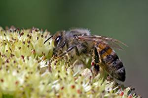 Картинка Крупным планом Пчелы Насекомые Размытый фон животное