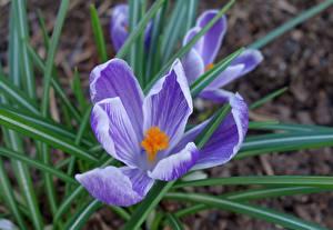 Фото Вблизи Шафран Боке Фиолетовый Цветы