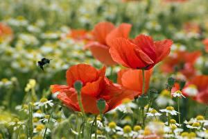Картинка Крупным планом Маки Ромашки Красный Размытый фон цветок