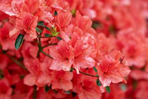 Обои Крупным планом Рододендрон Розовых Japanese Azalea Цветы