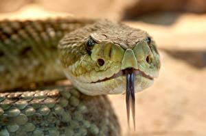 Картинка Вблизи Змеи Размытый фон Голова Языком Животные