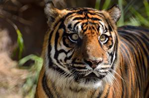 Картинка Вблизи Тигр Голова Смотрят животное