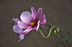 Фотография Космея Крупным планом Боке Розовых Цветы