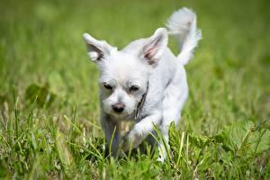 Фотография Собака Трава Белые Размытый фон Вест хайленд уайт терьер животное