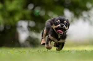 Фото Собаки Бег Щенков Смешные Боке Языком животное