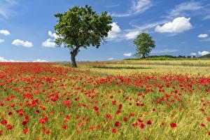 Картинка Поля Мак Лето Деревьев Природа Цветы