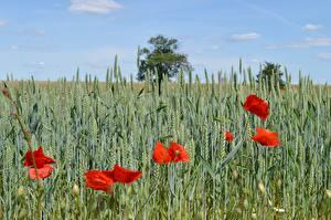 Картинки Поля Пшеница Маки Колоски Красная Природа