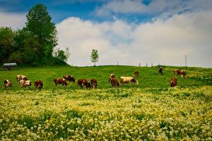 Фото Германия Луга Одуванчики Коровы Бавария Wangen Животные