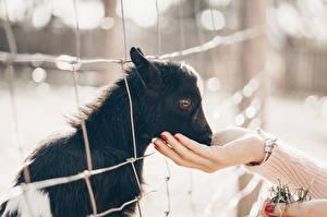 Обои Коза козел Детеныши Руки Забор Животные