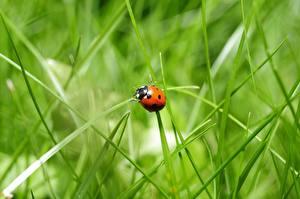 Фотографии Божьи коровки Насекомое Траве Боке Животные