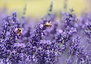 Фото Лаванда Пчелы Насекомые Боке Природа
