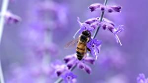 Картинки Лаванда Крупным планом Пчелы Насекомые Боке Животные