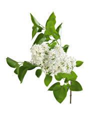 Фото Сирень Белый фон Ветка Белый Цветы