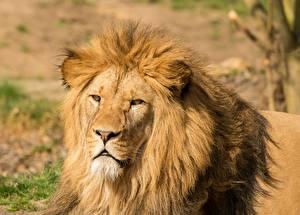 Фото Лев Крупным планом Голова Смотрят животное