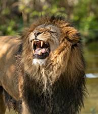 Картинки Львы Оскал животное