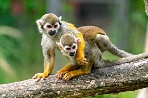 Фото Обезьяна 2 Ствол дерева Обнимаются squirrel monkey животное