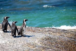 Фото Пингвины Море Трое 3 Животные
