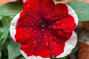 Картинка Петунья Крупным планом Капельки Красная Цветы