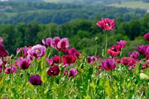 Фотографии Маки Много Цветы