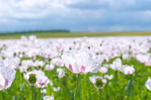 Обои Мак Много Размытый фон Розовых цветок