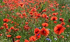 Фотография Мак Много Бутон Красный Цветы