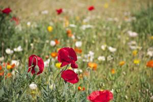 Фотография Маки Красный Бутон Размытый фон Цветы