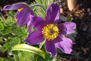 Фотографии Прострел Вблизи Фиолетовая цветок