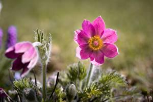 Фотографии Прострел Розовый Размытый фон цветок