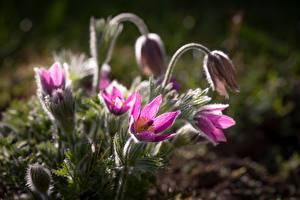 Картинка Прострел Фиолетовые Размытый фон цветок
