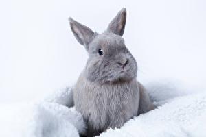 Обои Кролик Серая