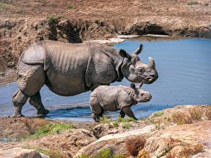 Фотографии Носороги Детеныши Двое Сбоку Животные