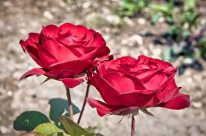 Фотография Роза Крупным планом Размытый фон Две Красная цветок