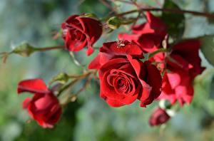 Картинки Роза Вблизи Красная Размытый фон Цветы