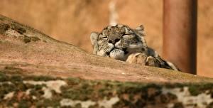 Фотографии Барсы Спит животное