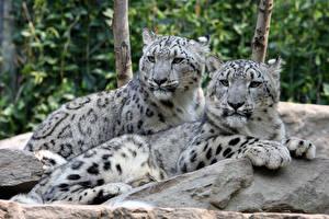 Фото Барсы Камень Две Лежит Лапы Взгляд Животные