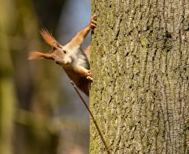 Картинка Белка Грызуны Кора Ствол дерева Животные